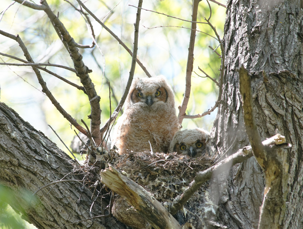 Great Horned Owlets 05-15-2011