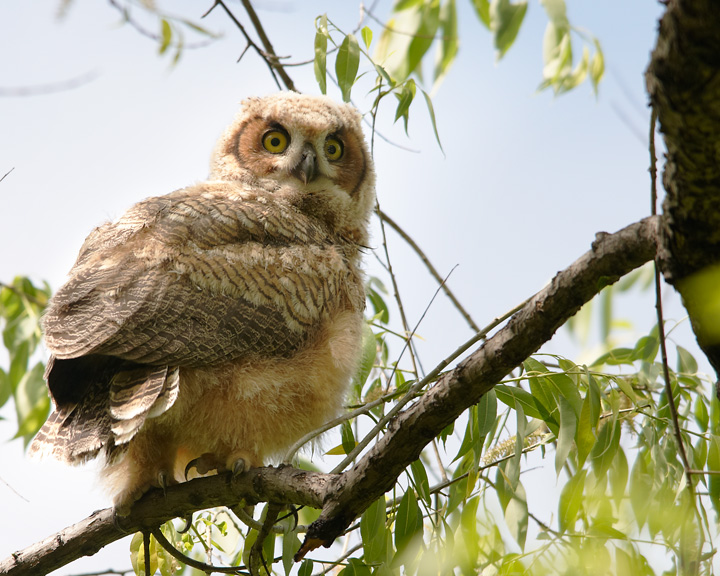 Great Horned Owlet 05-21-2011