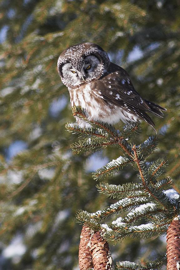 boreal_owl_011
