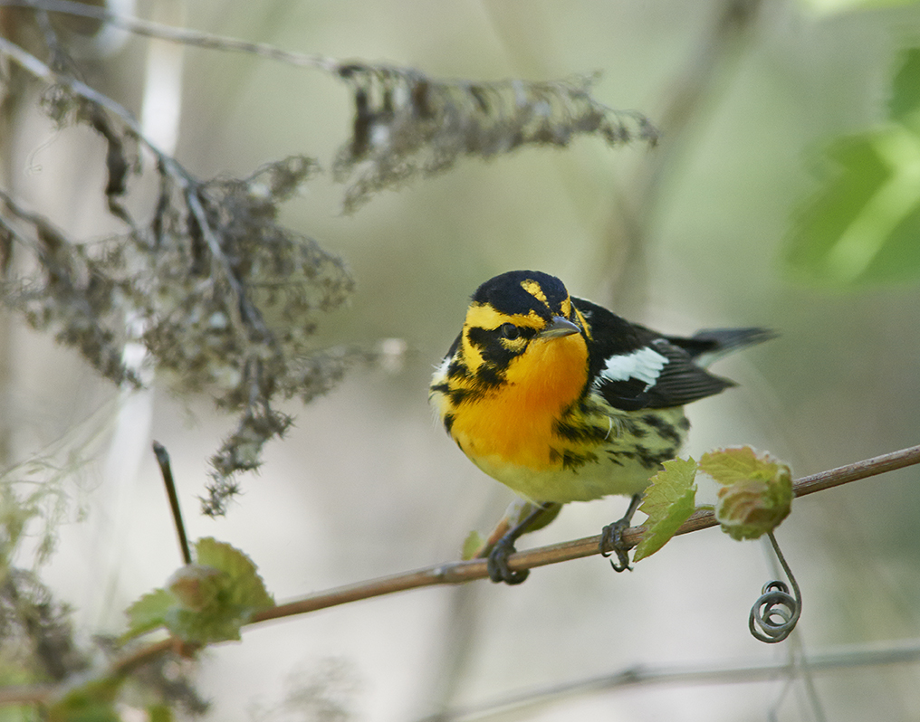 blackburnianwarbler_01