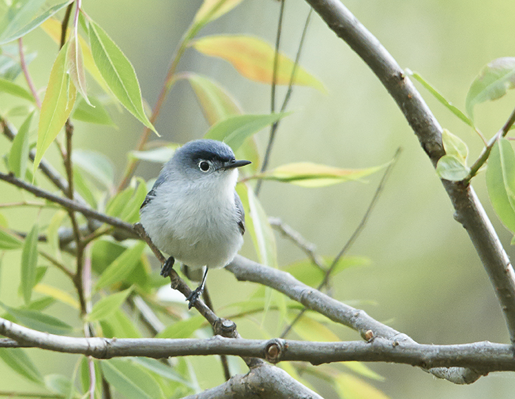 bluegraygnatcatcher_01