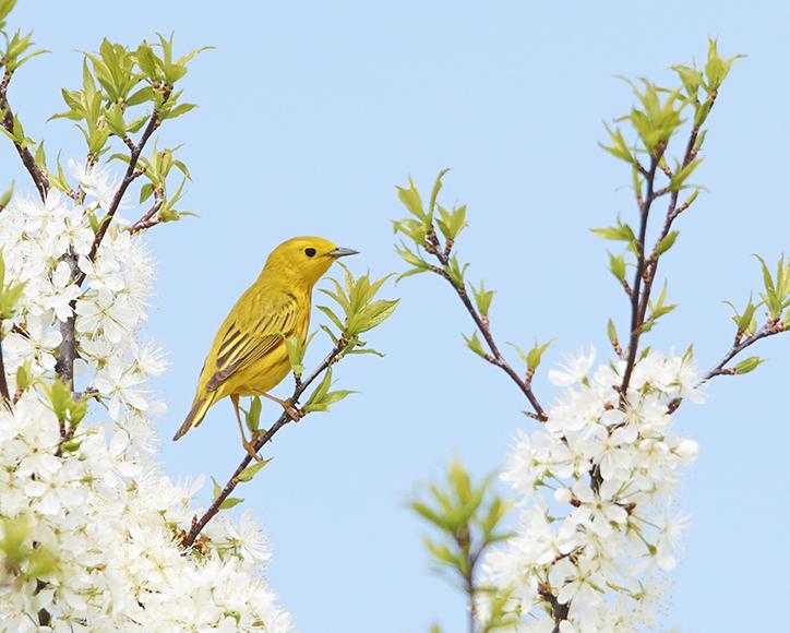 yellowwarbler_01